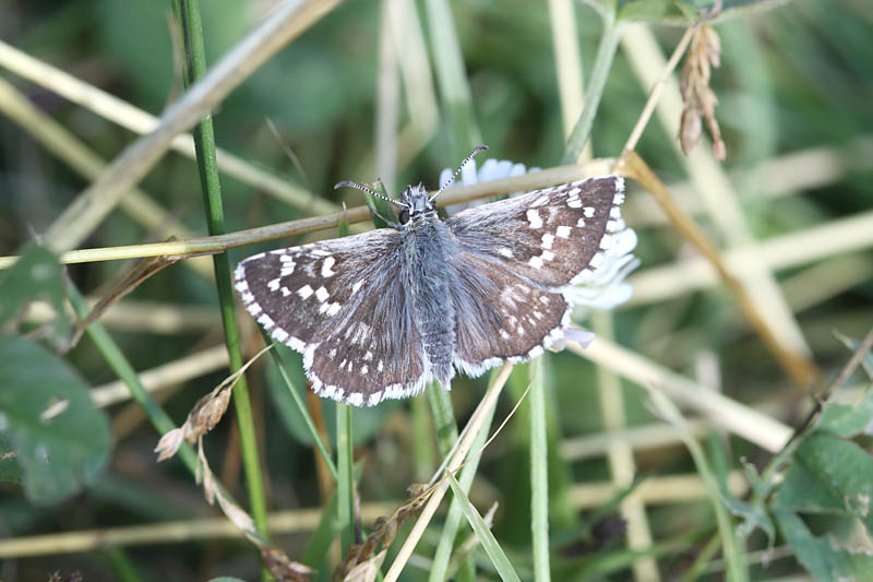 Grizzled_Skipper_fr_1.jpg