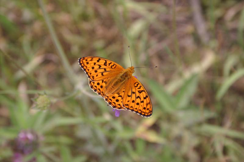 High Brown Fritillary thumb 1.jpg