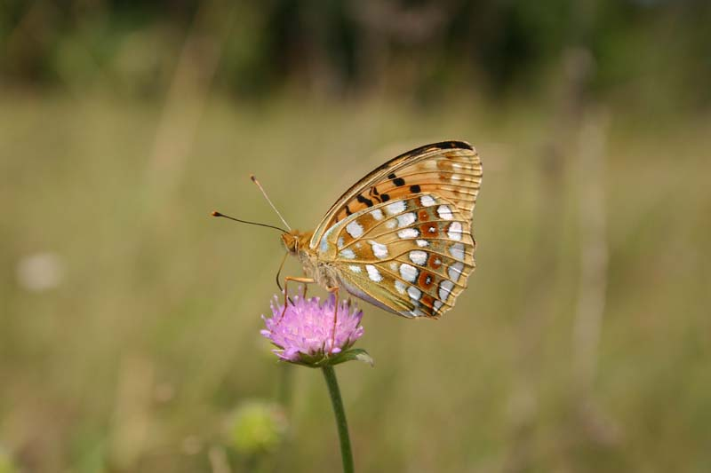 High Brown Fritillary thumb 10000.jpg