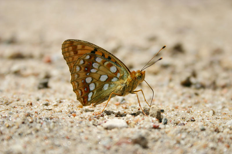 High_Brown_Fritillary,_ropejos.jpg