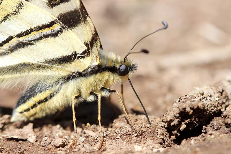 Iberian_Scarce_Swallowtail_sp_2.jpg