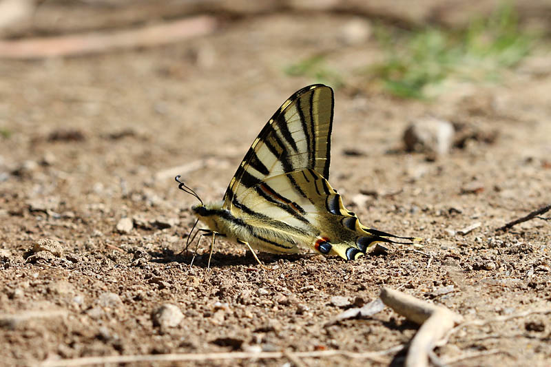 Iberian_Scarce_Swallowtail_sp_3.jpg
