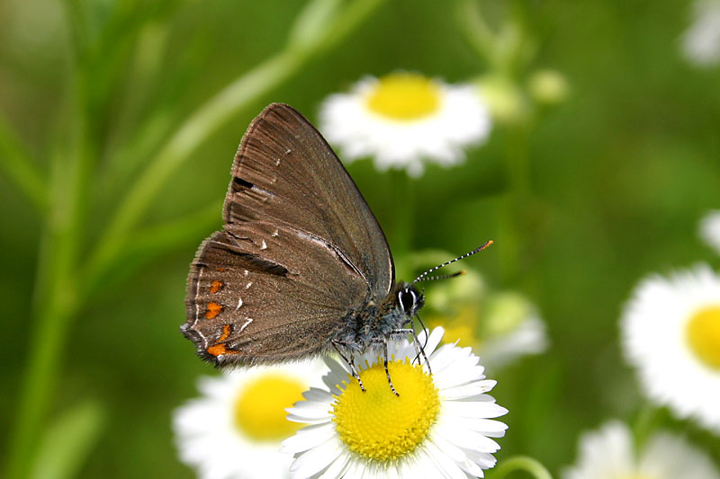 Ilex_Hairstreak_lith.jpg