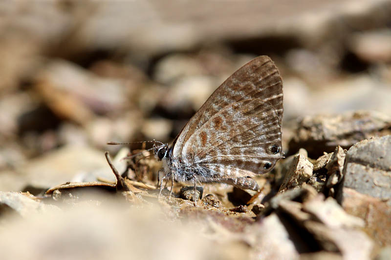 Langs_Short-tailed_Blue_sp_1.jpg