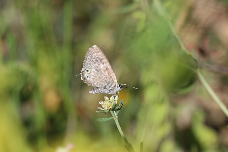 Langs_Short-tailed_Blue_sp_4.jpg