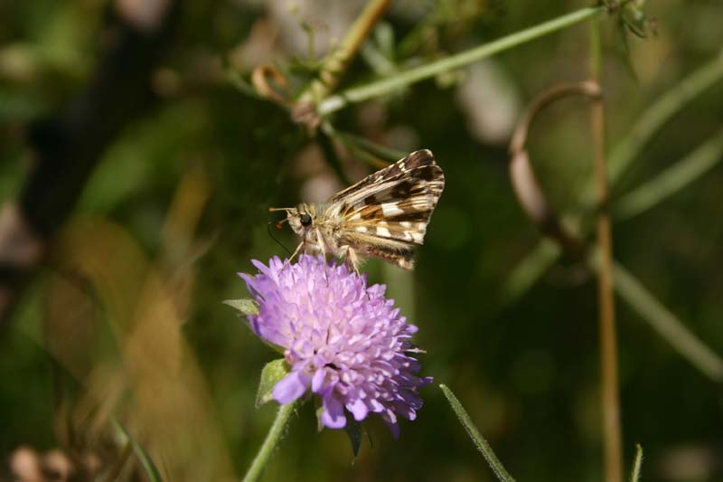 Large Grizzled Skipper thumb 2.jpg