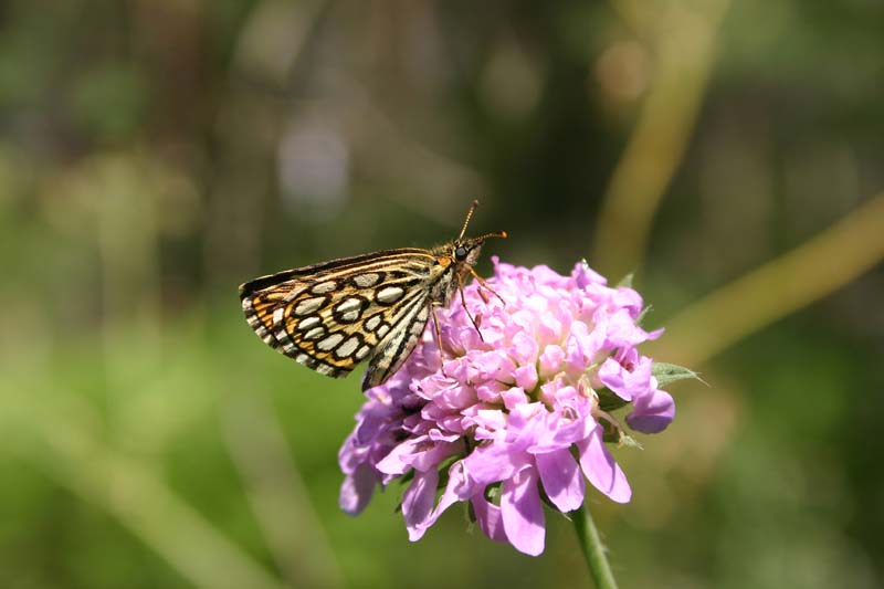 Large_Checkered_Skipper_thumb_2.jpg