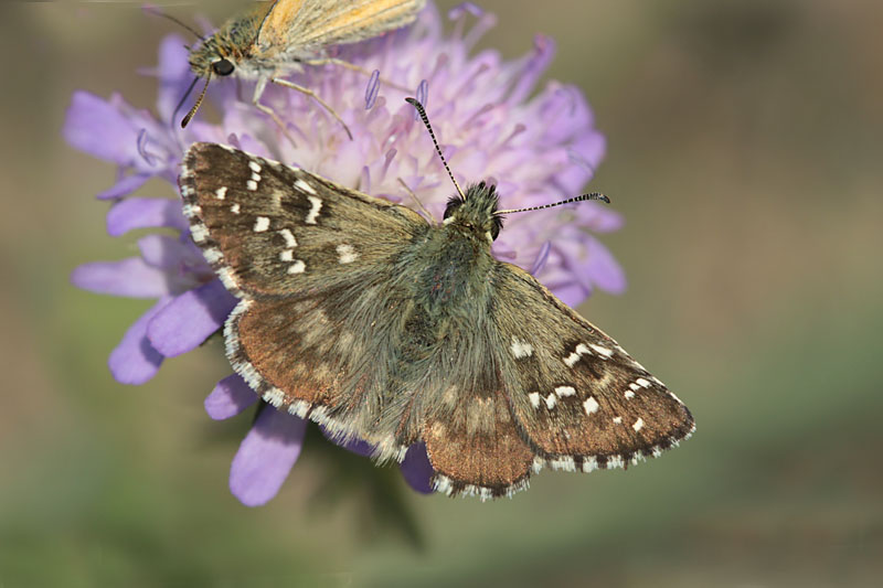 Large_Grizzled_Skipper_lt_1.jpg