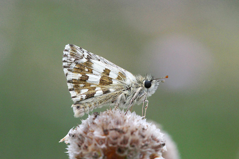 Large_Grizzled_Skipper_lt_4.jpg