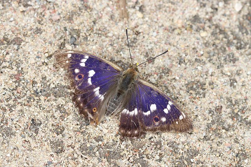 Lesser_Purple_Emperor_lt_1.jpg
