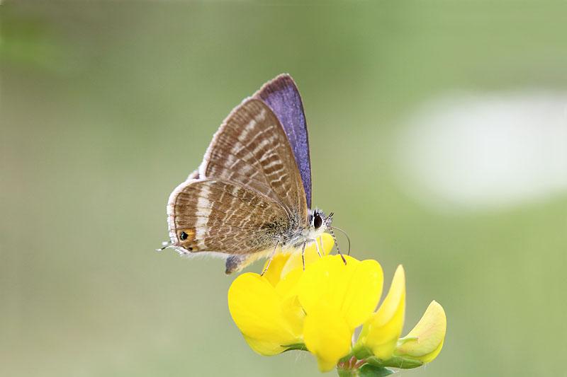 Long-tailed_Blue_sp_1.jpg
