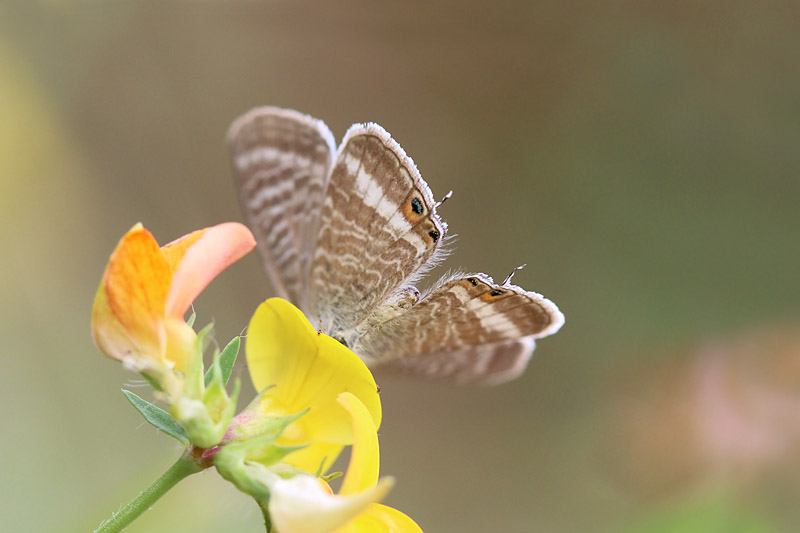 Long-tailed_Blue_sp_3.jpg