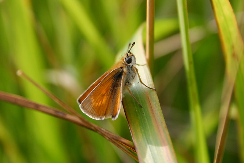 Lulworth_Skipper_at_Lulworth_1.jpg
