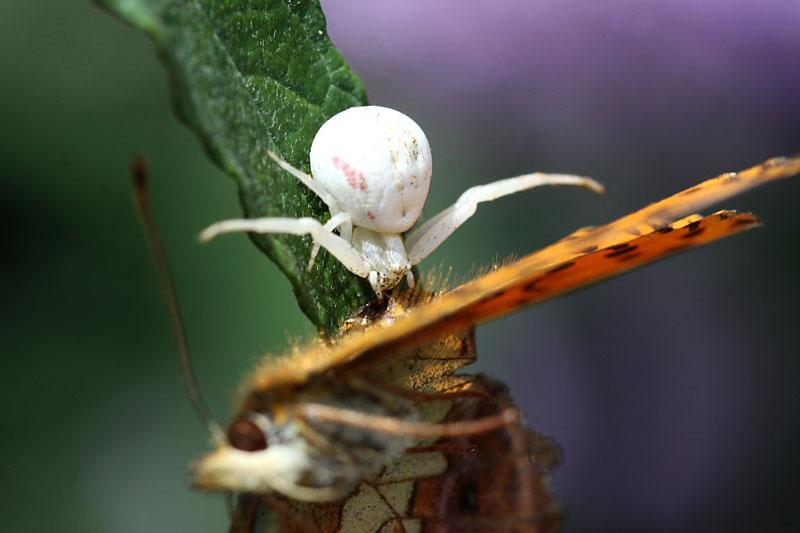 Marbled_Fritillary_&_spider_fr_1.jpg