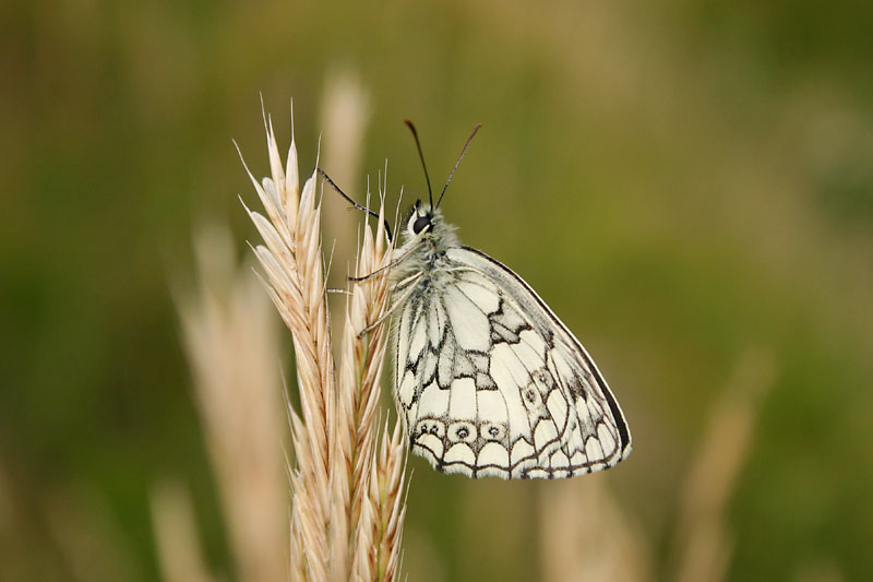 Marbled_White_Lulworth_2.jpg