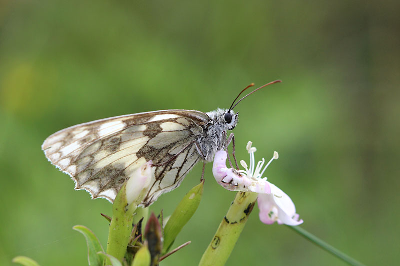 Marbled_White_lt_4.jpg