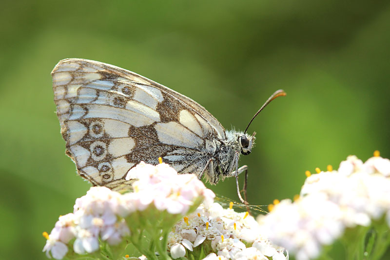Marbled_White_lt_9.jpg