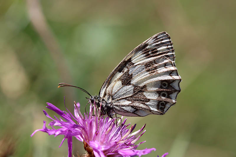Marbled_White_sp_1.jpg