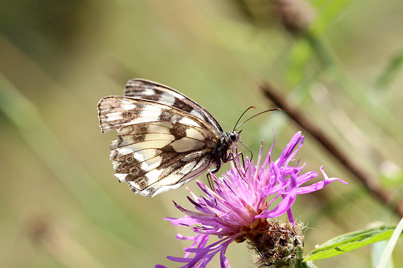 Marbled_White_sp_2.jpg