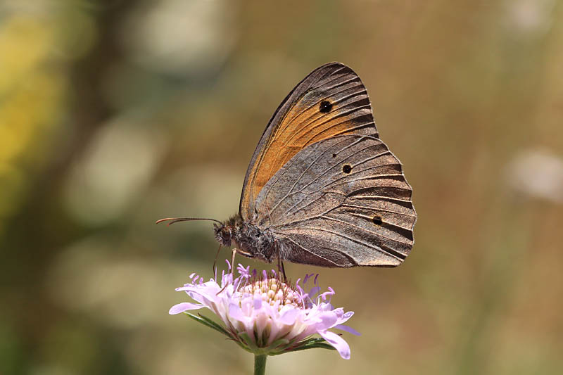 Meadow_Brown_gr_1.jpg
