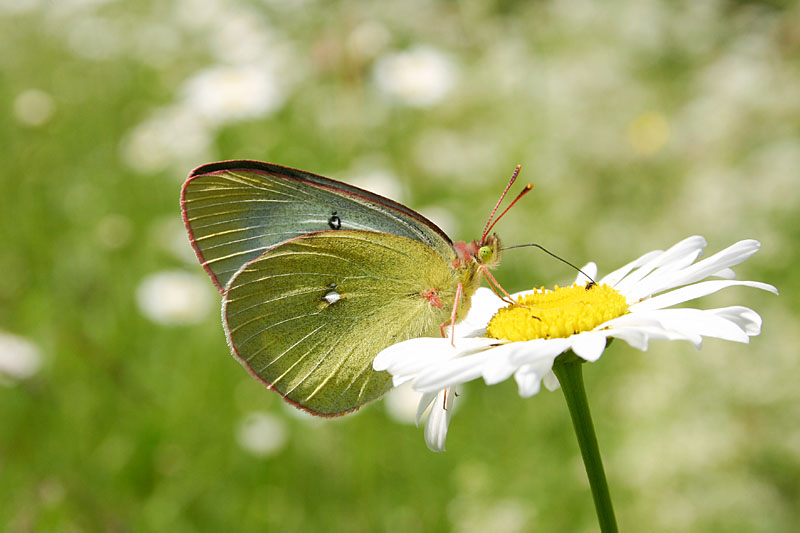 Moorland_Clouded_Yellow_rop_1.jpg