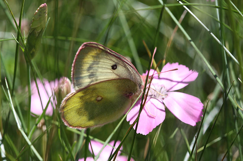 Mountain_Clouded_Yellow_fr_1.jpg