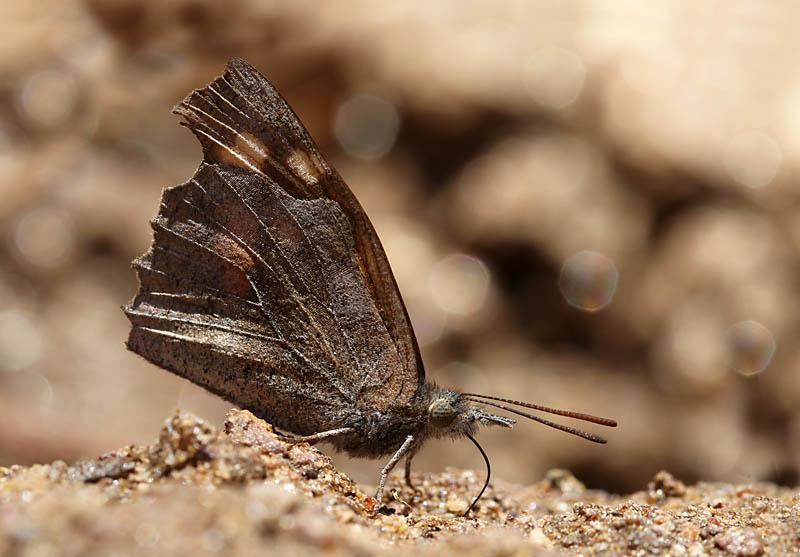 Nettle-tree_Butterfly_gr_3.jpg