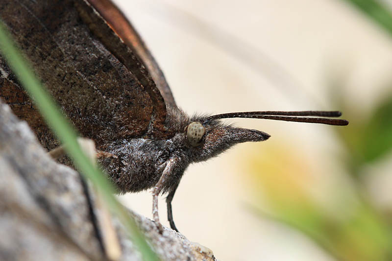 Nettle-tree_Butterfly_gr_8.jpg