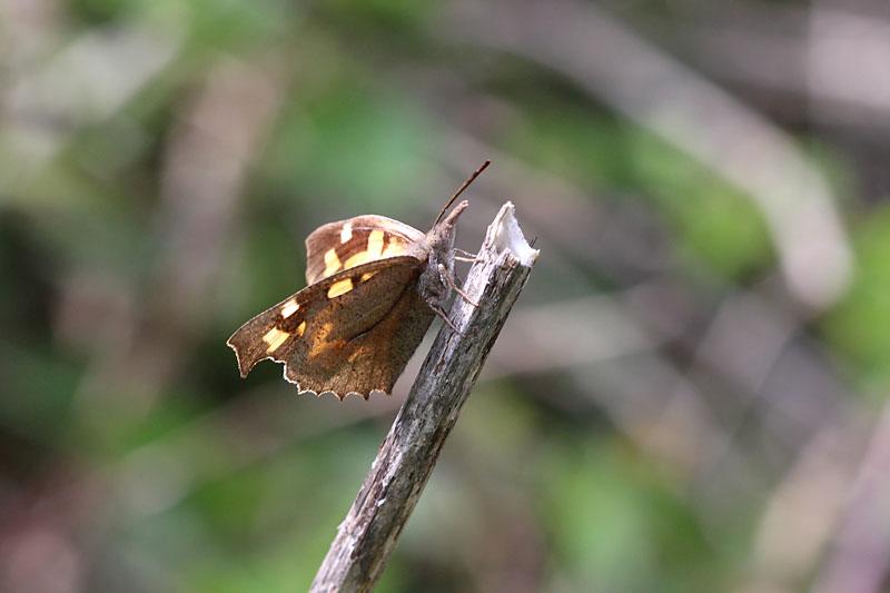 Nettle-tree_Butterfly_sp_2.jpg