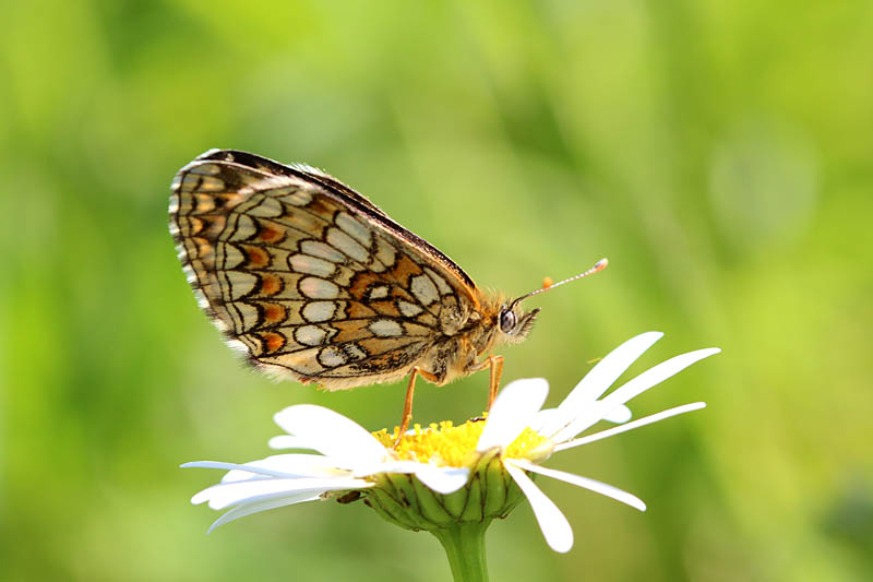 Nickerls_Fritillary_lt_2.jpg