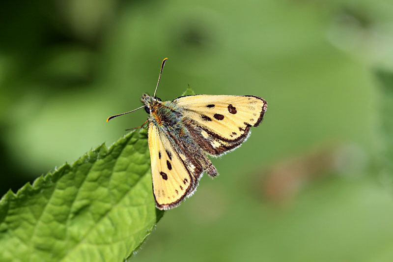 Northern_Chequered_Skipper_lt_7.jpg