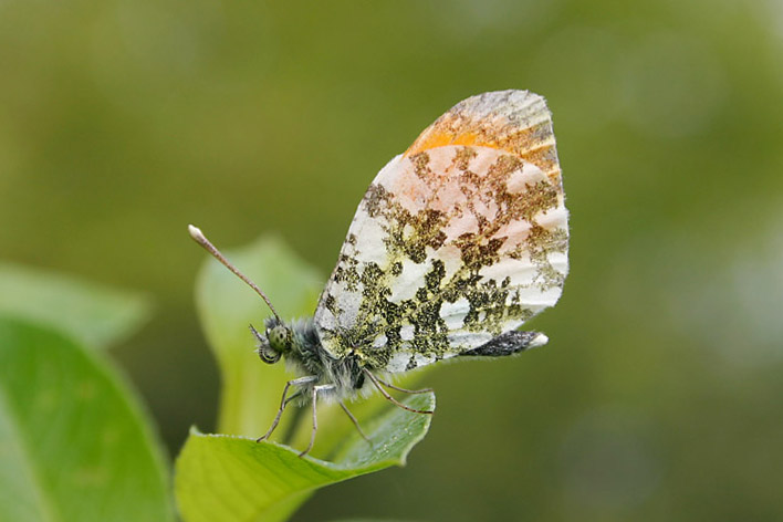 Orange_Tip_lt.jpg