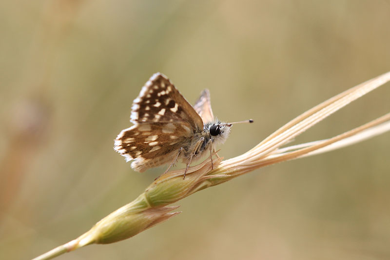 Orbed_Red-underwing_Skipper_gr_5.jpg