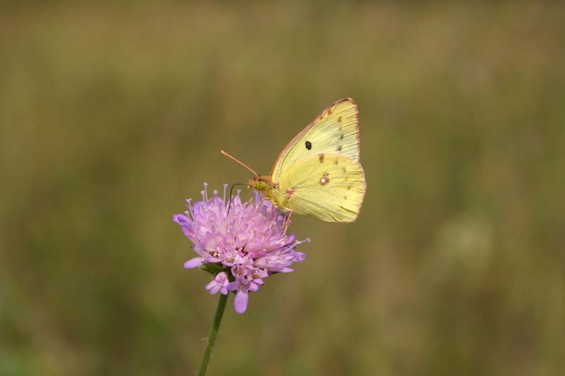 Pale Clouded Yellow thumb 1.jpg