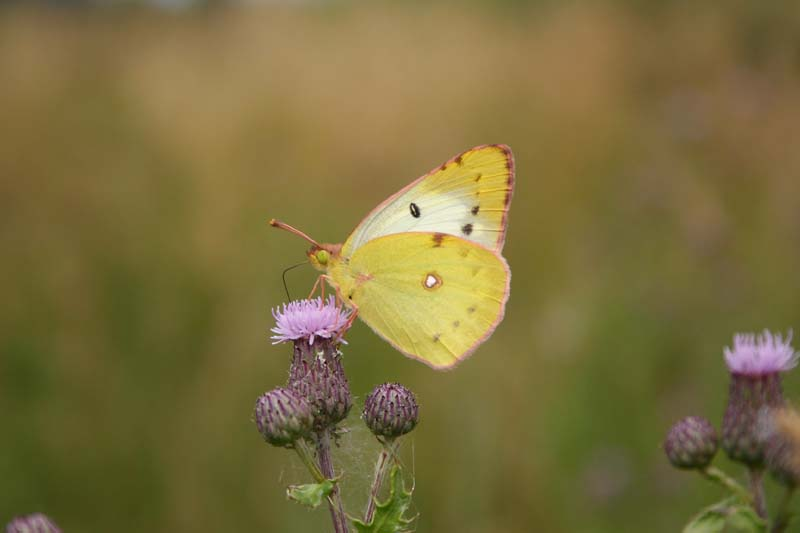 Pale_Clouded_Yellow_6.jpg