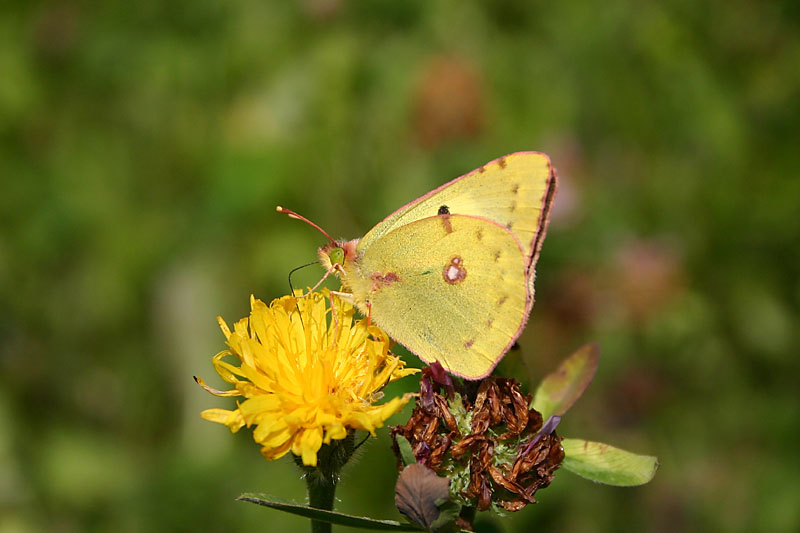 Pale_Clouded_Yellow_Vilnius.jpg