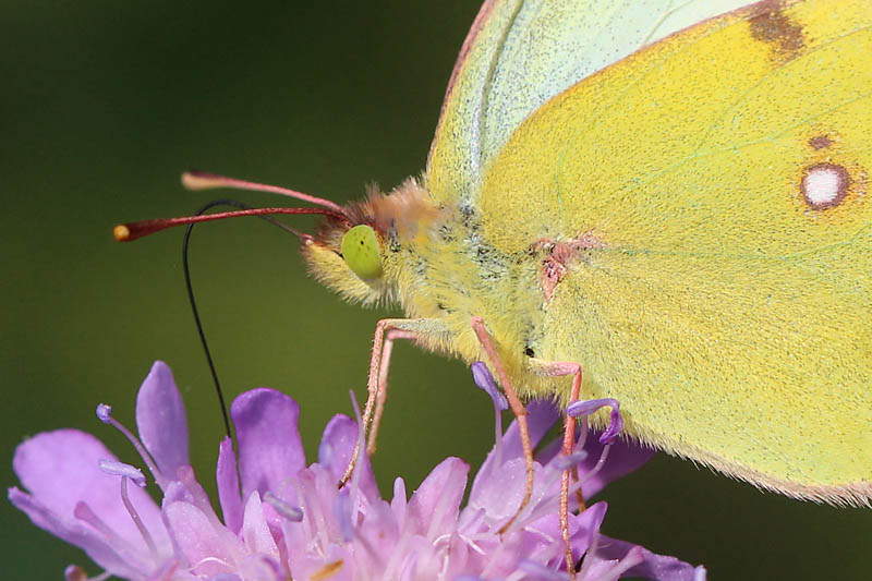 Pale_Clouded_Yellow_lt_1.jpg