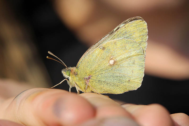 Pale_Clouded_Yellow_lt_3.jpg