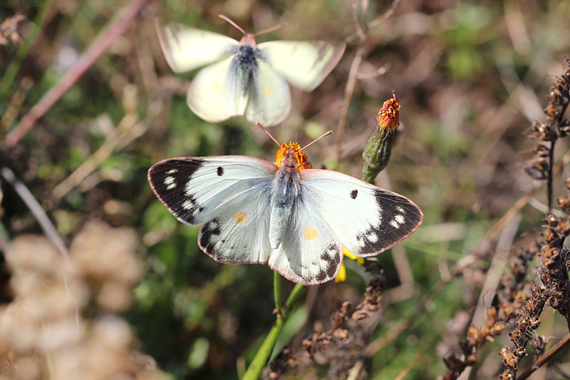 Pale_Clouded_Yellow_lt_5.jpg