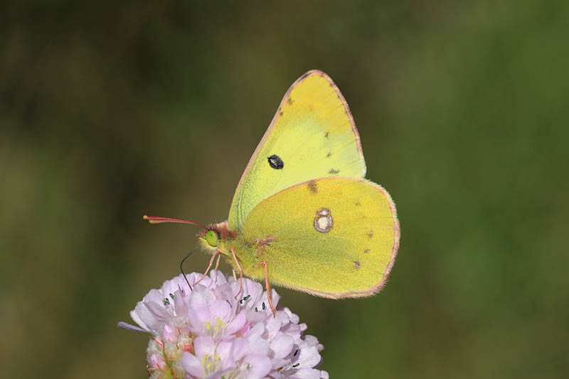 Pale_Clouded_Yellow_lt_7.jpg