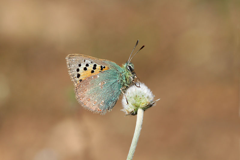Provence_Hairstreak_sp_4.jpg