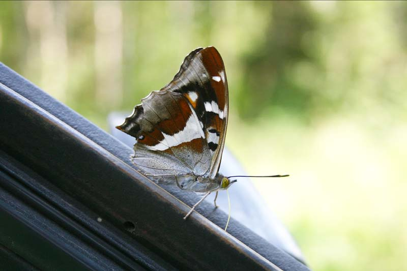 Purple Emperor thumb 3.jpg