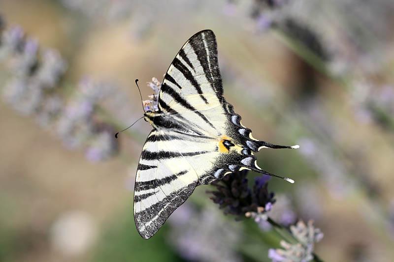 Scarce_Swallowtail_fr_1.jpg