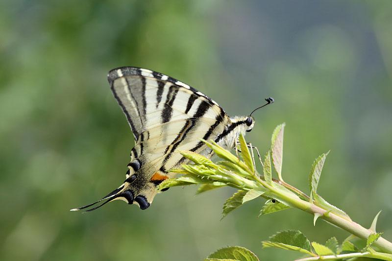 Scarce_Swallowtail_fr_2.jpg