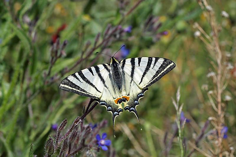 Scarce_Swallowtail_ks_3.jpg