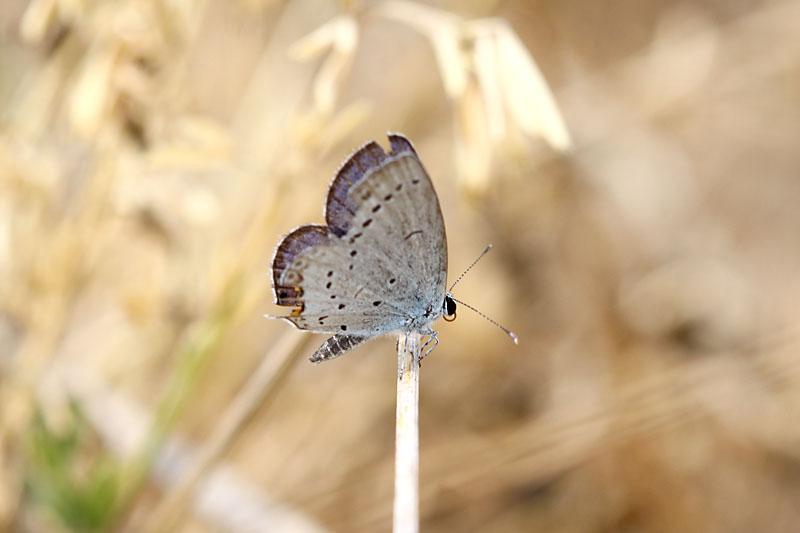 Short-tailed_Blue_fr_1.jpg