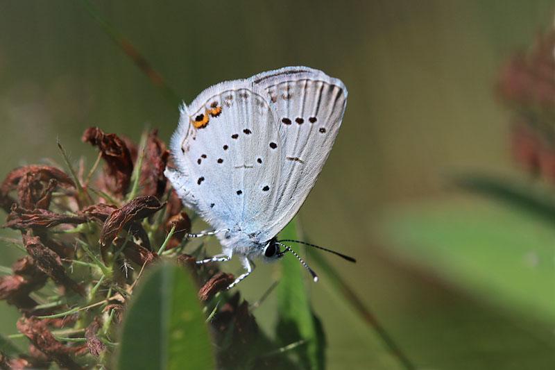 Short-tailed_Blue_lt_1.jpg