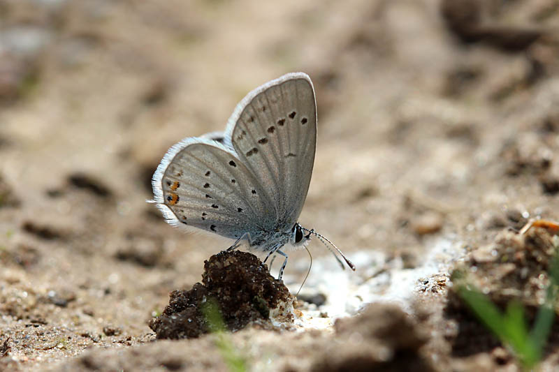 Short-tailed_Blue_lt_3.jpg
