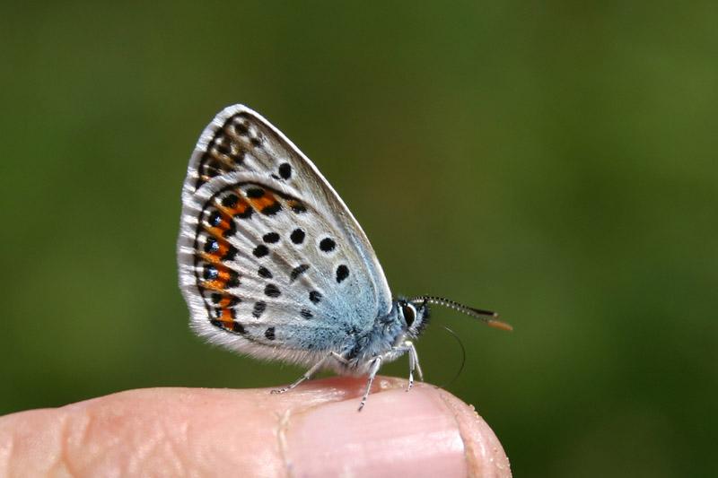 Silver-studded_Blue_,_finger.jpg