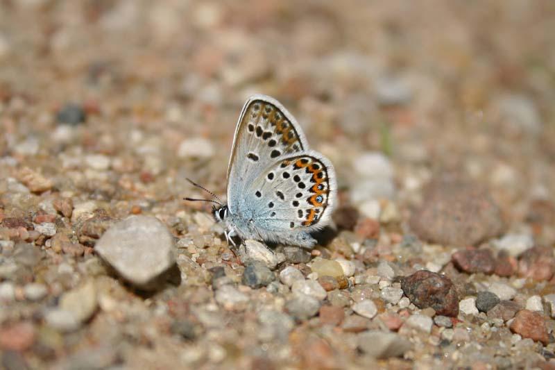 Silver-studded_Blue_1.jpg